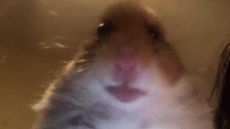 hamster.jpg.8a74197785c1b927f8b0e93d36c7f37a.jpg
